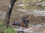 tigerwater