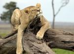 lionsnoozetree