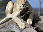 lionsnoozetree2