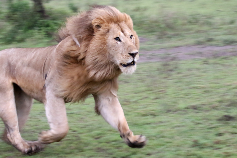 Feature-Photo-LionontheRun
