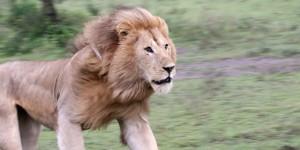 banner-feature-tour-LionontheRun