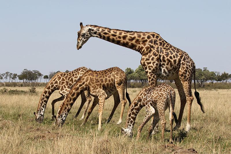 giraffes-2017