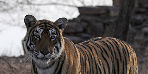 feature-banner-tiger