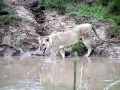 lionwater